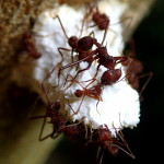 Ants munching on fungus