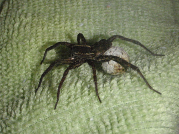 Spider carrying an eggsack