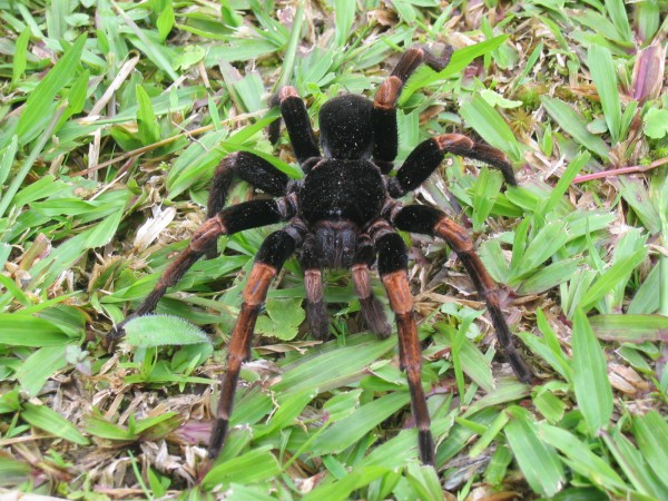 Some Tarantulas (Matacaballos) are venomous enough to be dangerous to humans and can defend themselves by flicking hairs from their legs through the air to penetrate the skin of an attacker.