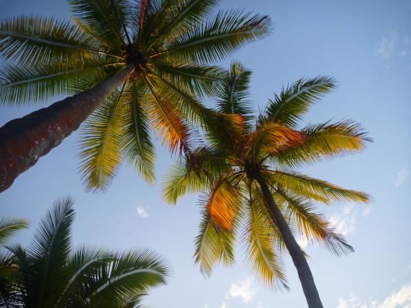 Coconut (Coco, Cocotero, Cocos nucifera) trees