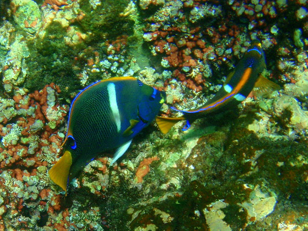 Angel Fish, Cano Island