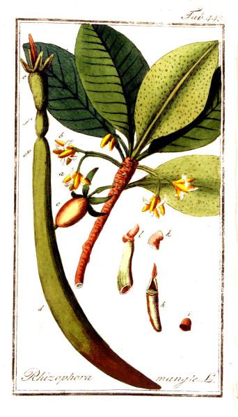 Rhizophora mangle, red mangrove plate. Johannes Zorn
