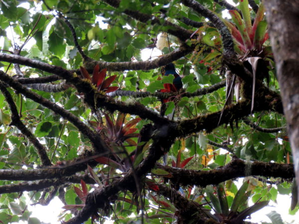 Quetzal Camouflage Barva sector, Braulio Carrillo National Park Costa Rica