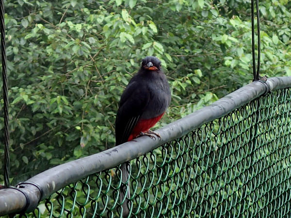 None shall pass!  A trogon guarding the canopy suspension bridge at Tirimbina Rainforest Reserve