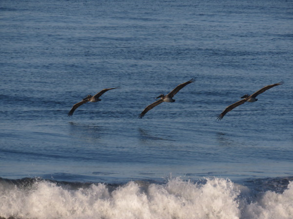 Pelicans over Playa Hermosa