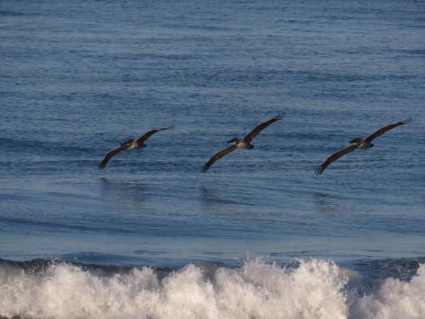 Pelicans over Playa Hermosa