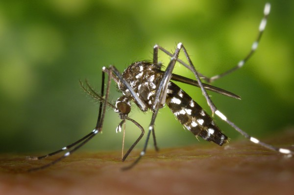 Asian Tiger mosquito or Forest mosquito (Aedes albopictus)