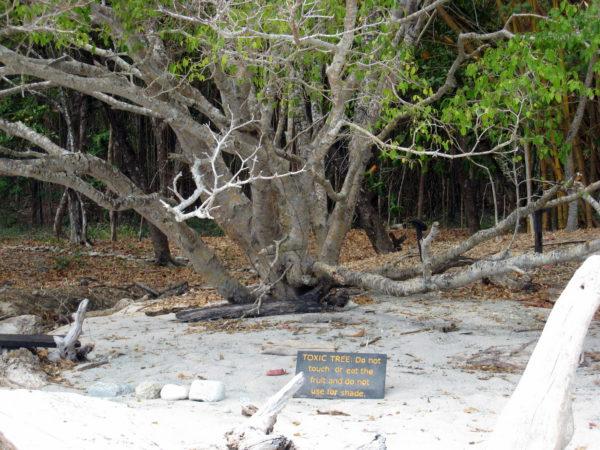 Toxic Manzanillo (Anacardiaceae Rhus striata) tree