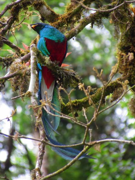 Resplendent Quetzal San Gerardo de Dota