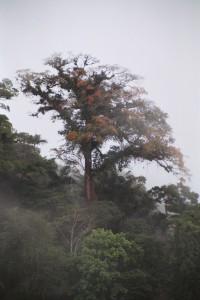 Flowering tree on the slopes between Poas & Barva