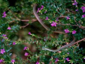 Lora or vine snake