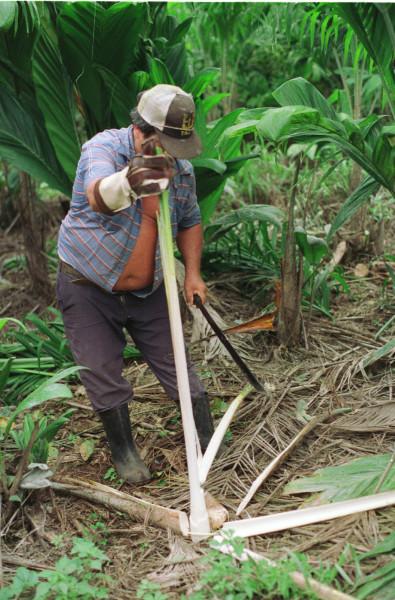 Harvesting Palmitos