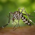 Chikungunya New Mosquito Threat