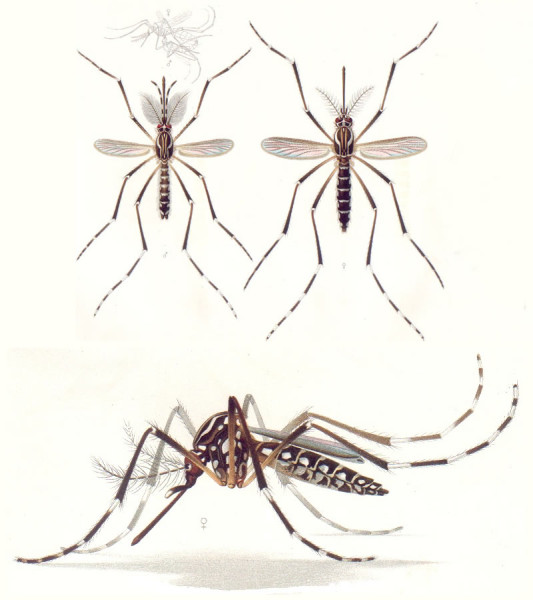 Aedes aegypti mosquitoes carry Dengue fever in Costa Rica