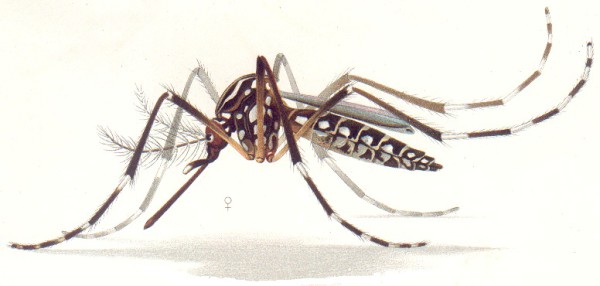 Aedes aegypti mosquitoes carry Dengue fever and Chikungunya in Costa Rica