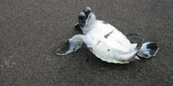 Chelonia mydas mydas hatchling on his back Playa Tortuguero