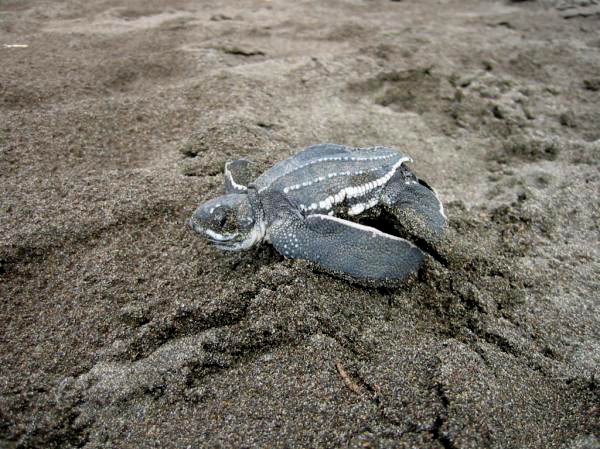 Baby Leatherback headed to the sea