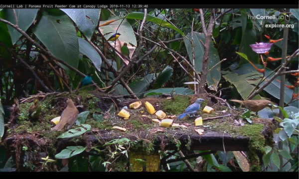 panama live stream bird watching