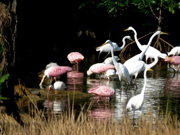 Great Egrets and Roseate Spoonbills