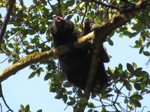 Howler monkey howling