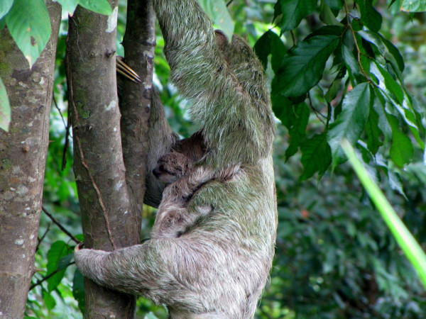Three toed sloth with baby