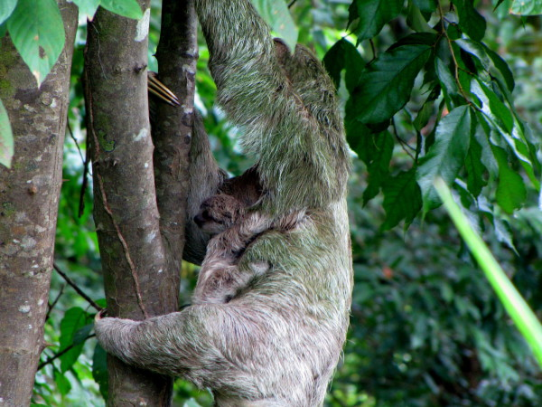 Sloth with baby Manuel Antonio