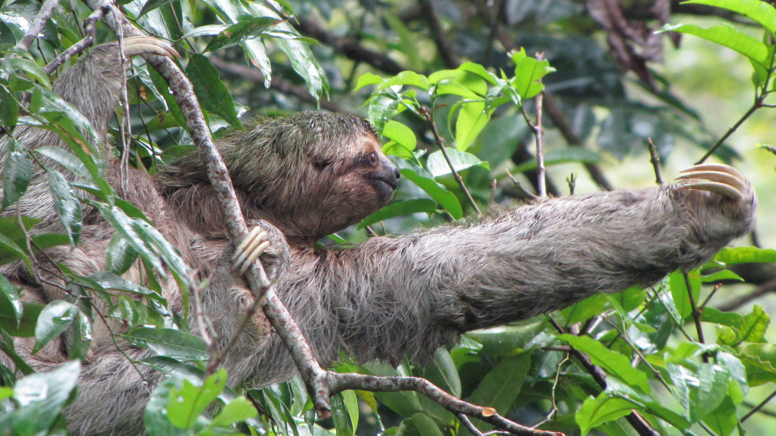 Sloth going to the bathroom - Sloth Reaching For A Snack