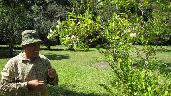 Cocaine plant at C.A.T.I.E -Centro Agronómico Tropical de Investigación y Enseñanza (Tropical Agriculture Research and Higher Education Center)