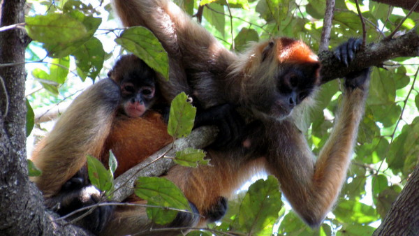 Geoffroy's Spider Monkeys (Ateles geoffroyi) are called mono aranya in Spanish