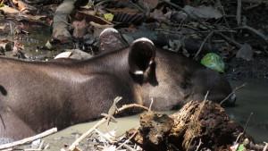 Tapir napping in the mud