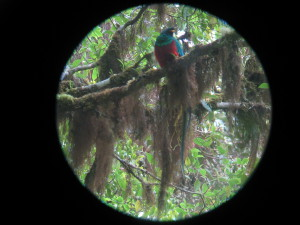 Male Quetzal in the National Park named for him.