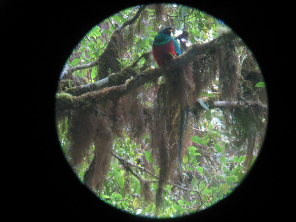 Digi-scope image of a male Quetzal