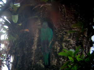 Female quetzal entering her nest hole in a standing dead tree trunk