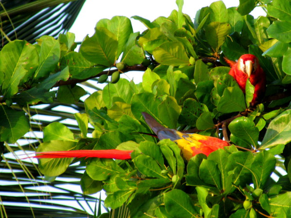 Scarlet Macaws were on Playa Preciosa every morning and evening