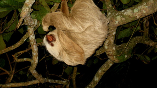 Two toed sloth, (Choloepus hoffmanni)