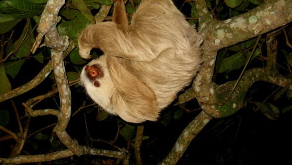 Two toed sloth, (Choloepus hoffmanni)