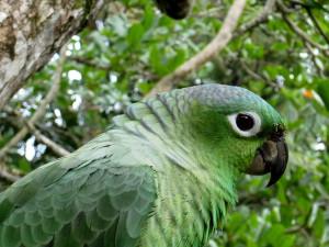 Mealy Parrot, (Amazona farinosa)
