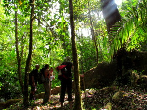 The buttress roots at knee level were more than 20 meters (65feet) long extending in all directions