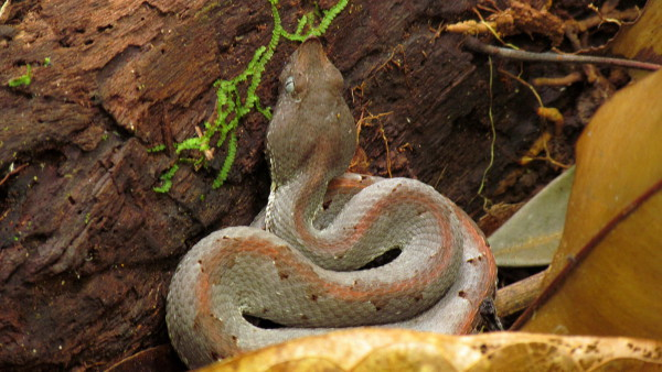 Hog nosed viper (Porthidium nasutum) in a typical hunting posture