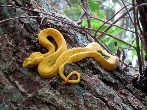 Yellow Eyelash Viper (also called Palm Viper or Pit Viper - Bothriechis schlegelii - Spanish Toboba de Pestaña, Bocaracá o Oropel) Gandoca Manzanillo Wildlife Refuge