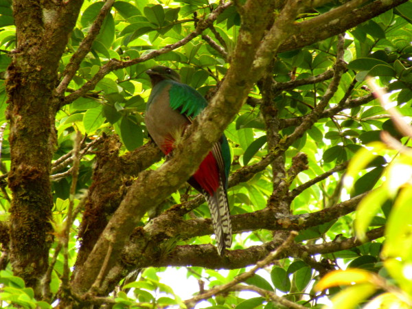 Female quetzal at Curi Cancha Reserve