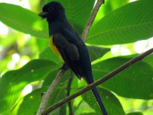Gartered Trogon (Trogon caligatus) previously known as Violaceous Trogon (Trogon violaceus) in the mountains above Carate, Osa Peninsula along eastern edge of Corcovado National Park