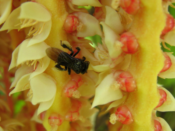 Bee collecting pollen from a palm flower at the Wilson Botanical Gardens