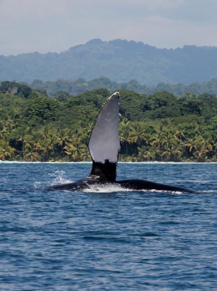 Humpback whale waving a flipper