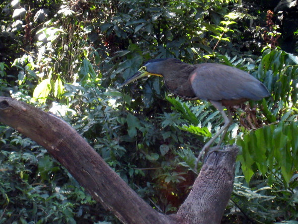 Tiger heron stalking on a Tortuguero canal