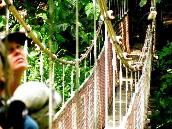 Sharing a suspension bridge with a Capuchin monkey