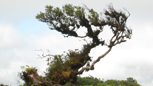 Papayillo (Didymopanax pitteri) trees adjust their shape to the wind