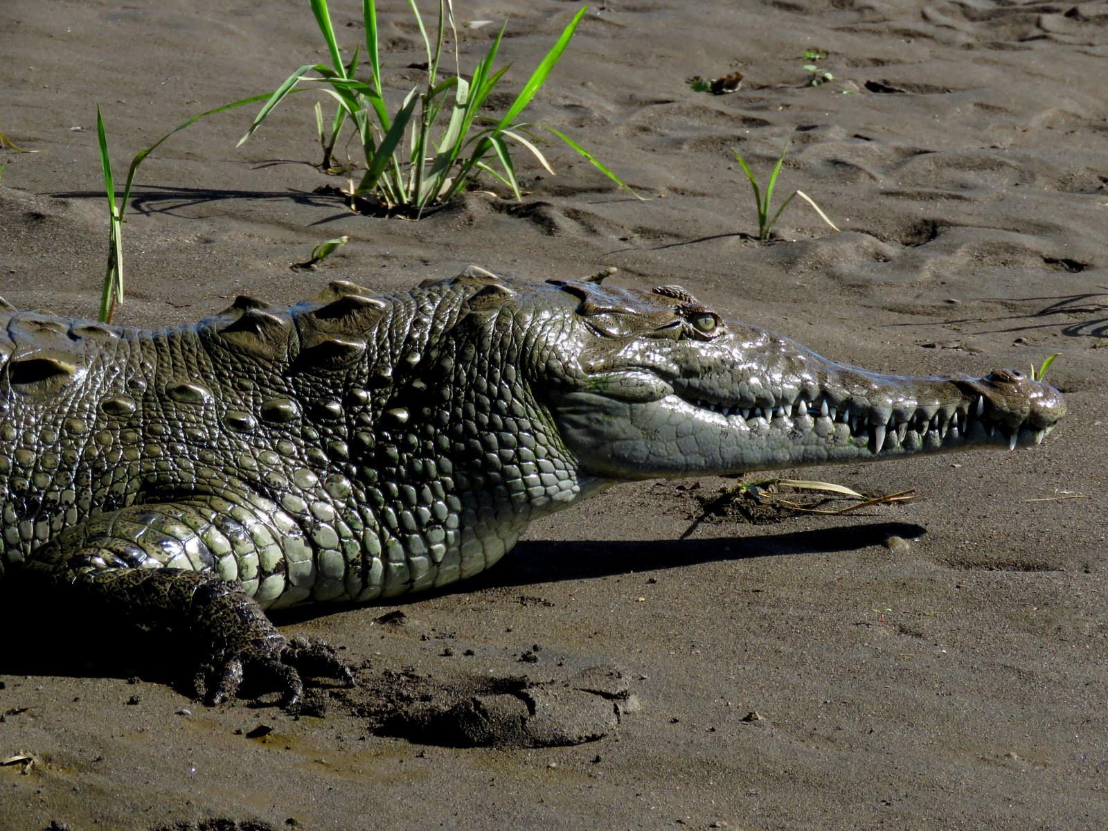 Uber Price Quote >> Crocodile Tarcoles River Carara National Park