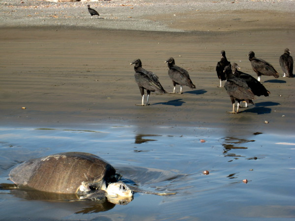 Not all of the turtles survive the challenges of nesting.