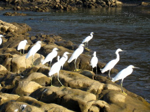 Cattle egrets at the mouth of the Nosara River on the far south end of Playa Ostional